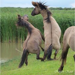 Battle of the Stallions