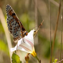 Franse vlinder: Tweekleurige parelmoervlinder
