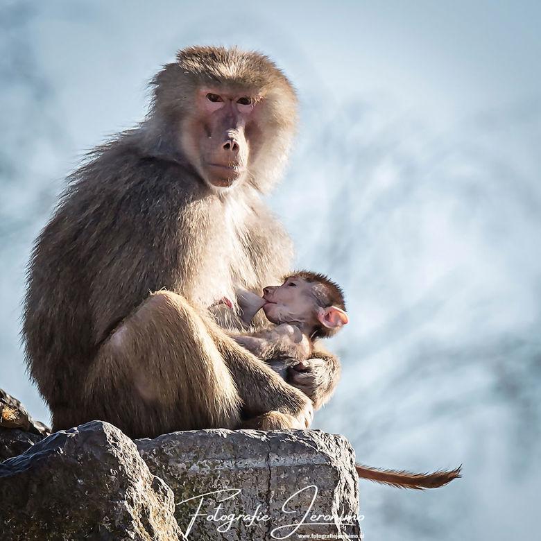 Moeder en kind  - Op een apenrots zag ik deze moeder baviaan met haar kleine zitten. Het was zo'n aandoenlijk gezicht hoe liefdevol zij met haar