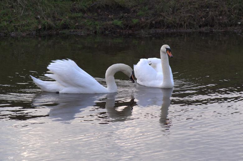 verliefde zwanen - zo mooi om te zien hoe ze bij elkaar zijn..