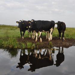 01-06-14 Ilperveld koeien.jpg