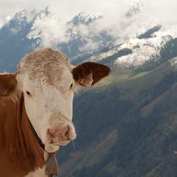 Koe tegen de bergen in Oostenrijk