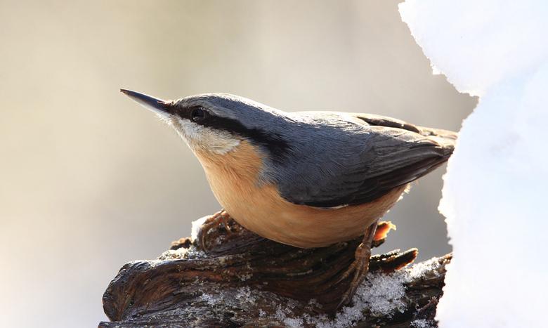 Boomklever - Leuk om in de winterse periode diverse bosvogels te fotograferen zoals ook deze Boomklever.<br /> <br /> Canon 60d, 500 mm.lens<br />