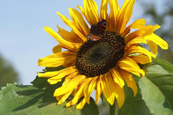zonnebloem met vlinder