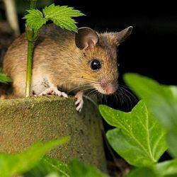 Afbeeldingsresultaat voor foto's van bosmuis