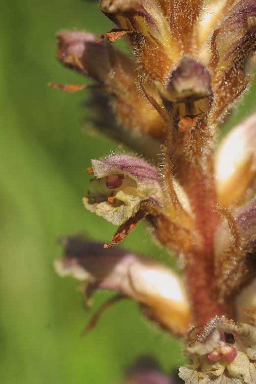 Orobanche minor - Klavervreter:<br /> <br /> Wat een naam voor een plant. Onze oudste dochter zag er een herkauwend hert in......<br /> <br /> De