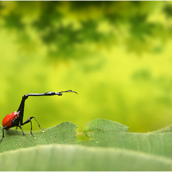 The Giraffe Weevil