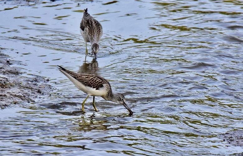 Fouragerende groenpootruiters - Fouragerende groenpootruiters in ondiep  water opzoek naar visjes, slakjes, e.d.<br /> De vogels zijn op doortrek naa