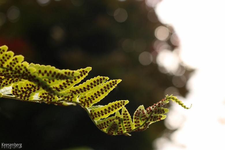 Krullende Varen - Krullende Varen,<br /> in de krullen maken insecten holletjes, heel mooi!<br /> <br /> Deze foto is van paar dagen geleden.<br />