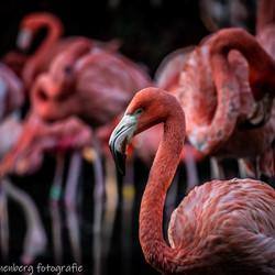 Flamingo's in AviFauna