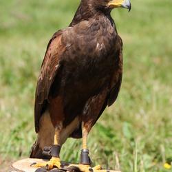 Roef de roofvogel