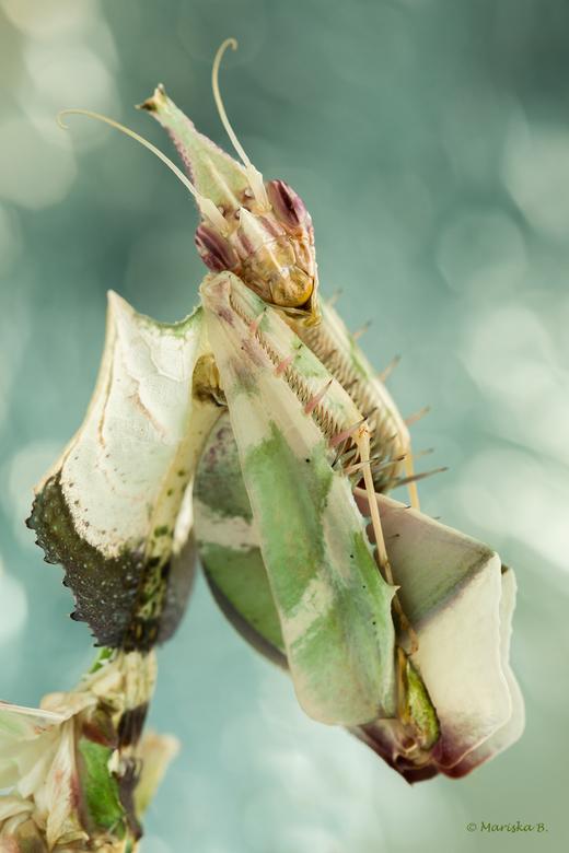 Idolomantis diabolica - Het beroemdste soort bidsprinkhaan; de Idolomantis. Idolomantis diabolica, of in het Engels Devil's Flower Mantis. De duivelsb
