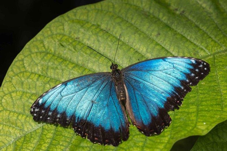 Blauwe morpho -
