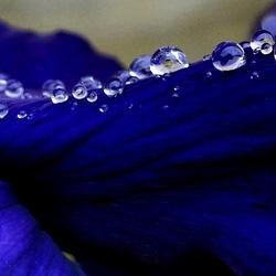 Regendruppels op een blauw viooltje