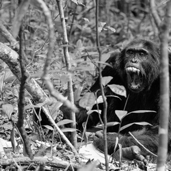 Uganda - The Chimp - Bigodi