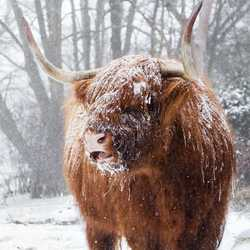 Besneeuwde statige Schotse Hooglander