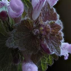 Paarse dovenetel - Lamium Purpureum