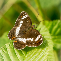 Ijsvogelvlinder sideways met roltong