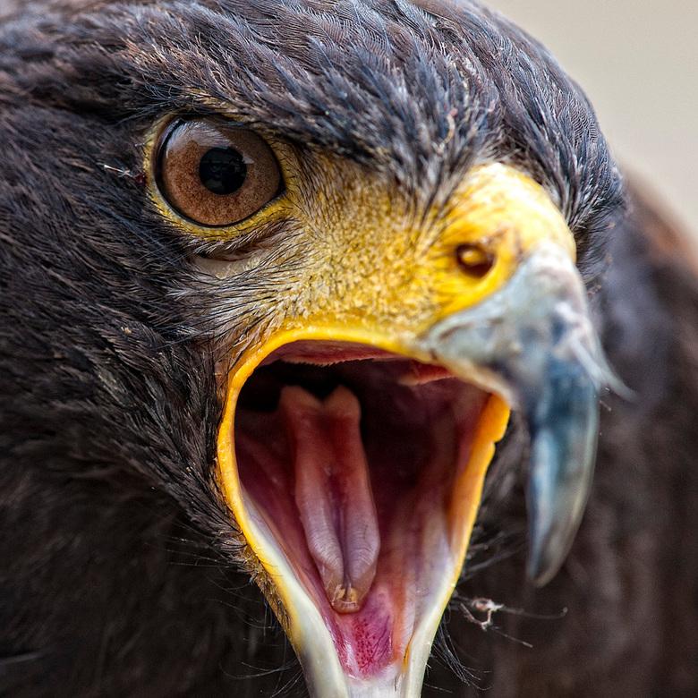 Eagle eye - Oog van een arend
