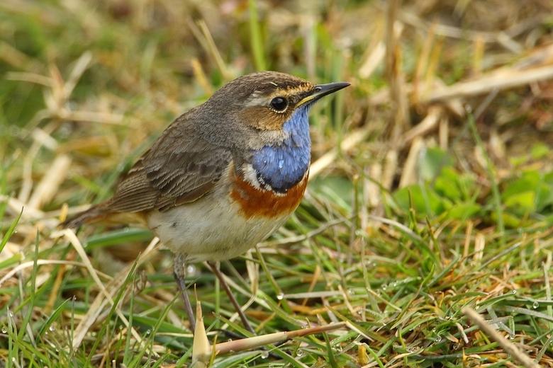 Blauwborst  - Blauwborst, nu eens niet zingend op een takje maar rondscharrelend op de grond, op zoek naar eten.<br /> Dank voor de commentaren en st