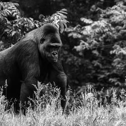 Gorilla B&W