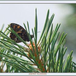 Heidevlinder