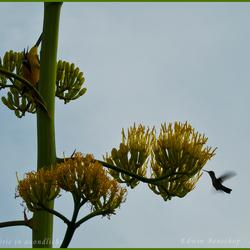 Kolibrie in avondlicht