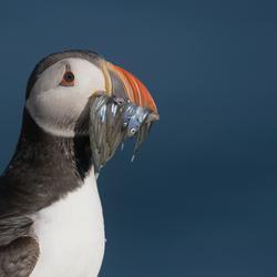 Papegaaiduiker met 9 visjes