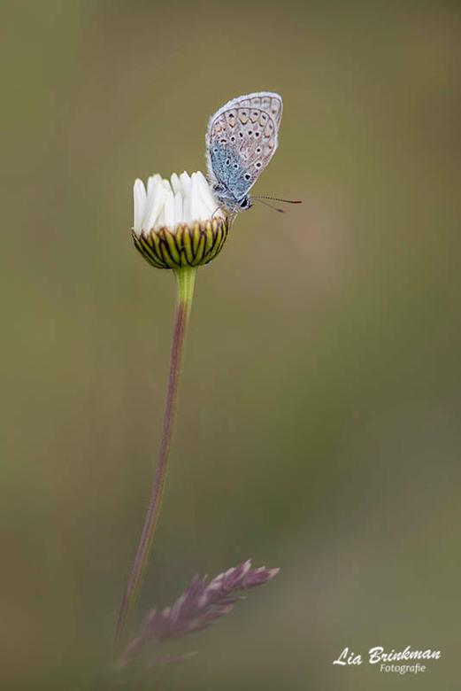 Something blue - Something blue<br /> Een blauwtje in een veld vol bloemen. Wat zijn ze schattig die kleintjes<br /> <br /> Bedankt voor de leuke r