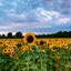 Zonnebloemen wachtend op de zon!