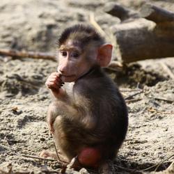 Kleine baviaan