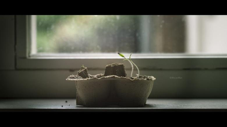 Ontkiemen - Ontkiemende tomatenzaadjes.<br /> <br /> ©MotionMan2017