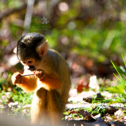 Little Squirrelmonkey