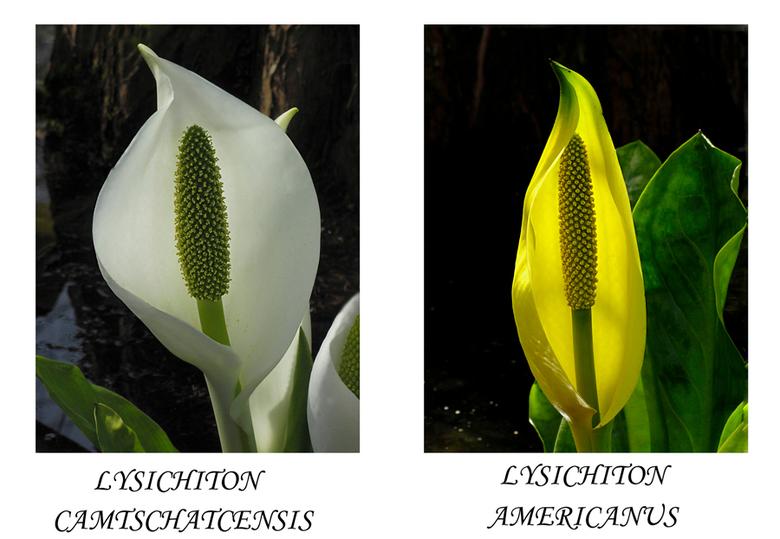 Moerasaronskelken - Er zijn 2 soorten moerasaronskelken.<br /> Beide soorten bezitten tijdens de bloei, in het voorjaar, grote bladeren die de eigenl