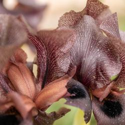 Zwarte Irissen