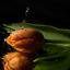 De oranje tulp