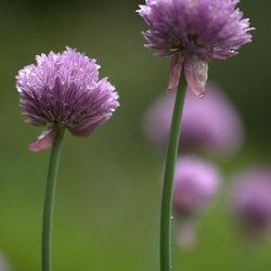 Hemelvaartse Allium