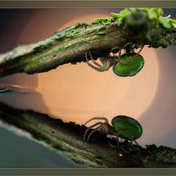 komkommerspin 2