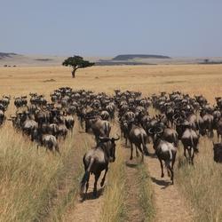 Gnoes op weg naar de Mara rivier