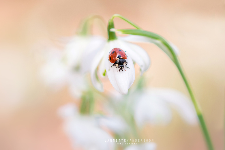 Hello Spring - Het was even schakelen na alle winterpret maar wat kun je dan weer genieten van het kleine spul! Dit lieveheersbeestje genoot ook even
