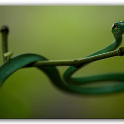 Groene boomslang