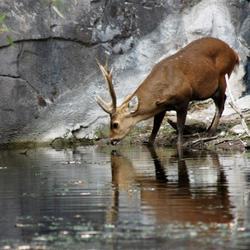 Drinkend hert
