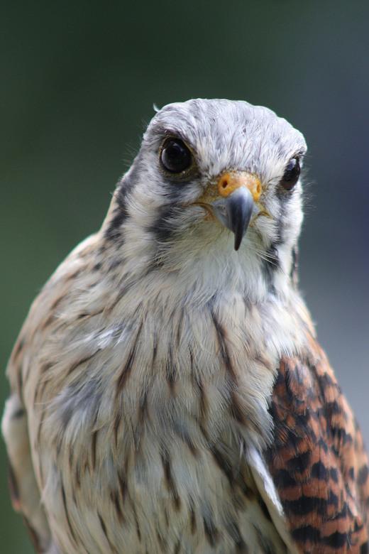 Falconcrest, - Ook deze is genomen tijdens de zoom meet van Jos / utzefke.<br /> Persoonlijk vond ik deze vogel er erg aaibaar uitzien. De realiteit