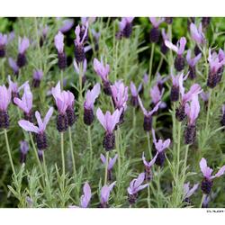 Lavendel = purple