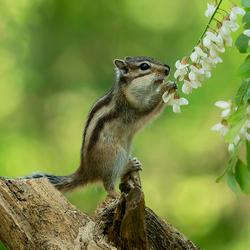 grondeekhoorn ruikt aan de bloemen Zoom