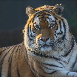 tijger 03