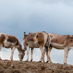 Steppe/woestijn Ezeltjes