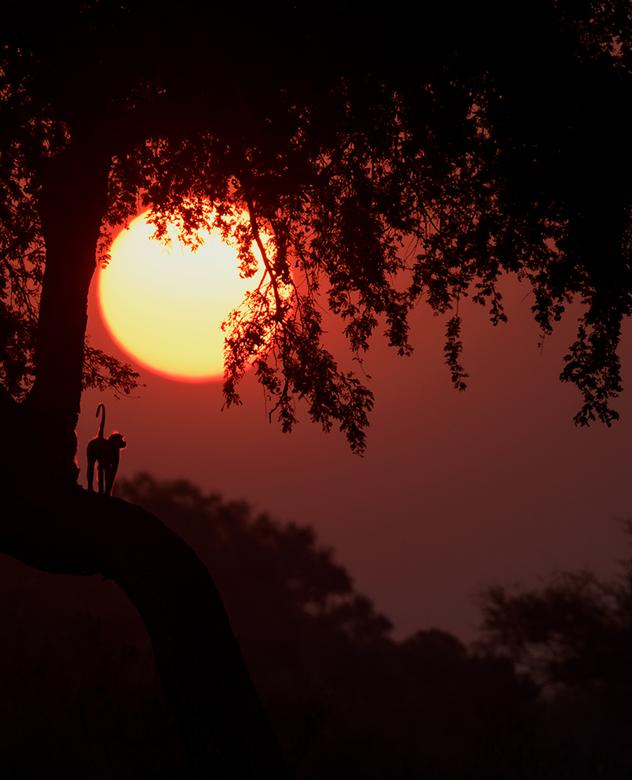 Yellow Baboon - Tijdens de zonsondergang kwam deze Yellow Baboon even kort op de juiste plek staan.<br /> <br /> hoi henk<br /> http://www.hlfotogr
