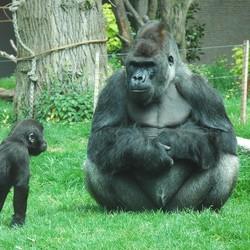 kleine gorilla met vader