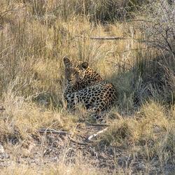 Luipaard in Namibië